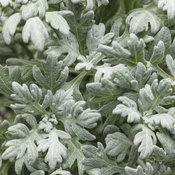 Proven Accents® Silver Bullet® - Wormwood - Artemisia stelleriana