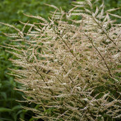 aruncus_chantilly_lace_apj18_5.jpg