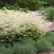 aruncus_chantilly_lace_apj19_4.jpg