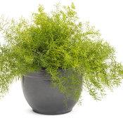 asparagus_fern_mono.jpg