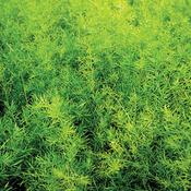 Proven Accents®  - Asparagus Fern - Asparagus densiflorous 'sprengeri'