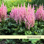 'Little Vision in Pink' - Chinese Astilbe - Astilbe chinensis