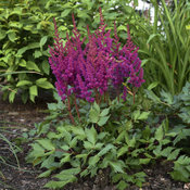 astilbe_chinensis_vision_in_red_pp11965_cpbr1334_0000_low_res.jpg