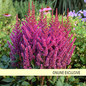 'Visions' - Chinese Astilbe - Astilbe chinensis