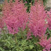 astilbe_rise_and_shine.jpg