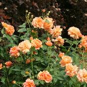 at_last_landscape_rose.jpg