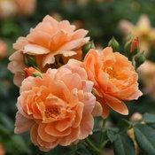 At Last™ Rose