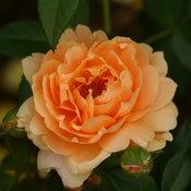 at_last_rose_bloom.jpg