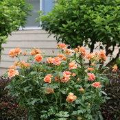 At Last™ Orange Rose