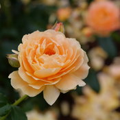 At Last rose flower