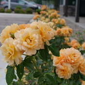 at_last_rose_p1077085.jpg