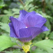azurri_blue_satin_hibiscus-3.jpg