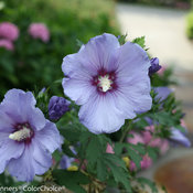 azurri_blue_satin_hibiscus.jpg