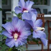 azurri_satin_hibiscus-3817.jpg