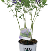 baptisia_blueberry_sundae_container.png