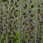 baptisia_dark_chocolate_apj17_8.jpg