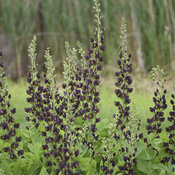 baptisia_dark_chocolate_cjw19_1.jpg