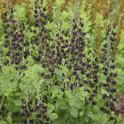 baptisia_dark_chocolate_cjw19_2.jpg