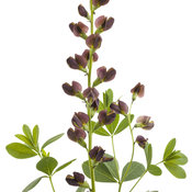 baptisia_dutch_chocolate_02.jpg