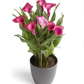 Be My™ First Love - Calla Lily