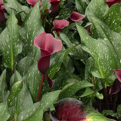 Be My™ Heart - Calla Lily