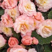 Double Delight® Blush Rose - Begonia hybrid