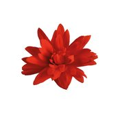 begonia_hybrida_funky_red_20beg-12363.jpg