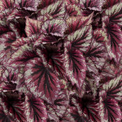 Shadow King® Cherry Mint - Rex Begonia