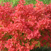 Sunjoy Neo™ - Barberry - Berberis thunbergii
