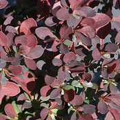 berberis_mimi_red4_3349_img_1282.jpg