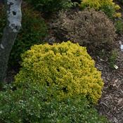 berberis_sunjoy_gold_beret_img_6117_crop.jpg