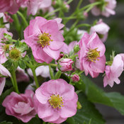berried_treasure_pink_closeup.jpg