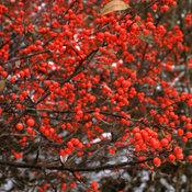 Berry Heavy Ilex (Winterberry)