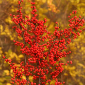 berry_heavy_ilex-6669.jpg