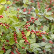 berry_heavy_ilex_28.jpg