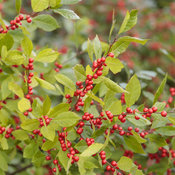 berry_heavy_ilex_41.jpg