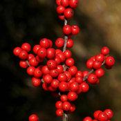 berry_nice_ilex-6582.jpg