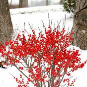 berry_poppins_ilex_verticillata-1-4.jpg