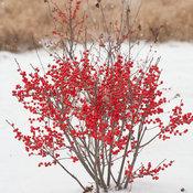 berry_poppins_ilex_verticillata-1-6.jpg