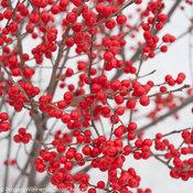 berry_poppins_ilex_verticillata-1-8.jpg