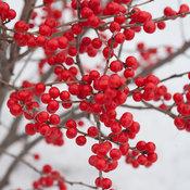 berry_poppins_ilex_verticillata-3.jpg