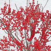 berry_poppins_ilex_verticillata.jpg