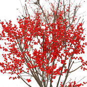 berry_poppins_ilex_verticillata_hr.jpg