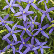 Beth's Blue® - Star Flower - Isotoma axillaris