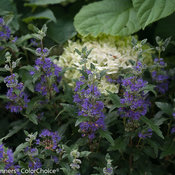 beyond_midnight_caryopteris-2.jpg