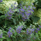 beyond_midnight_caryopteris-3.jpg