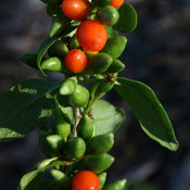 big_lifeberry_lycium_img_8402_crop.jpg