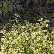 Gold Splash Euonymus and Black Lace Sambucus