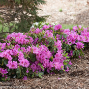 bloom-a-thon_lavender_azalea-3.jpg