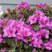 bloom-a-thon_lavender_azalea-4.jpg